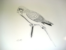 Budgie, Joey. I did this sketch in preparation for a continuous line drawing. Mick Burton, 1971