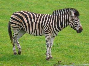 Zeus, 5 year old stallion Zebra at Yorkshire Wildlife Park