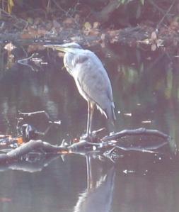 Older Heron, Gledhow Valley Woods, Leeds, September 2014.  Photo by Mick Burton, continuous line artist.
