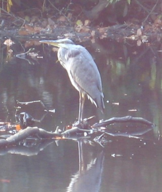 Older Heron, Gledhow Valley Woods, Leeds, September 2014.  Photo by Mick Burton, continuous line artist.