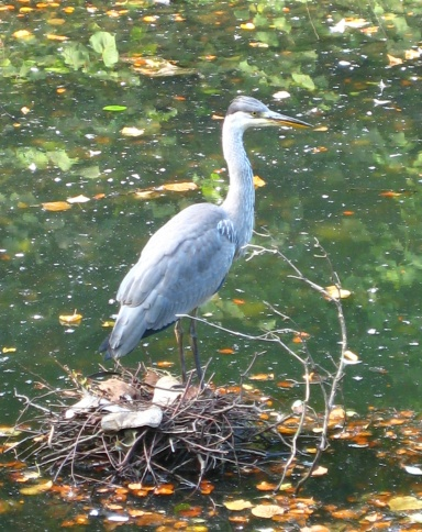Young heron on Gledhow Valley Lake, Leeds, September 2014. Photo Mick Burton, continuous line artist.