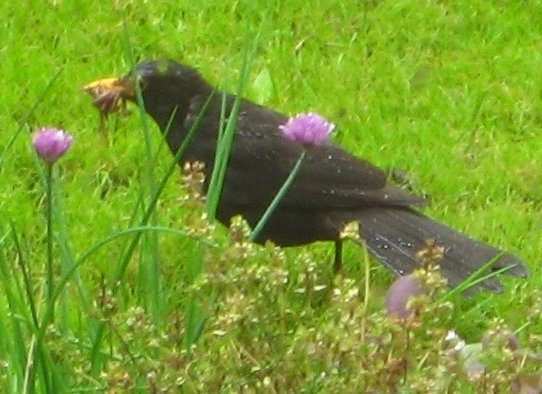 Blackbird last summer with a mouth full of worms.  Mick Burton photo.