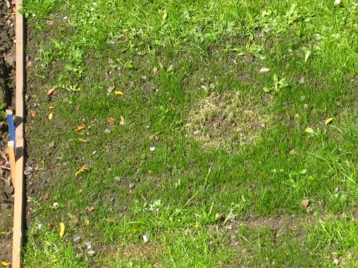 White patch on newly seeded area of lawn, caused by resin from roof.  Mick Burton photo.