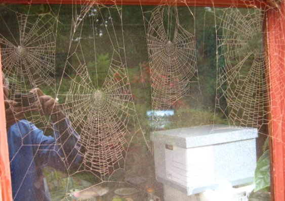 Four cobwebs on dining room windows covered in red brick during work on kitchen extension in 2009. Mick Burton, continuous line artist.