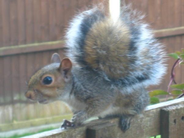 Young Grey Squirrel from Gledhow Valley Woods. Three feet from my window after being chased by a cat. Mick Burton, Leeds artist.