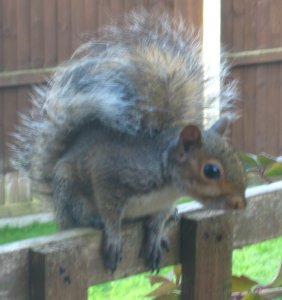 Young Grey Squirrel not daring to move, even though Joan had chased the cat away. Mick Burton, Leeds artist.