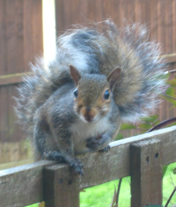Young Grey Squirrel, imploring me to stop taking photos and do something about the cat. So I went out and shepherded it to the bushes. Mick Burton, Leeds artist.