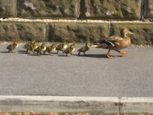 Mallard steams by towing eight ducklings in a continuous line. Photo Mick Burton, 7.8.2016, Well House Drive, Gledhow Valley, Leeds.