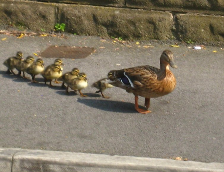 Mallard mum starting to move out towards the curb. Photo Mick Burton, continuous line artist.