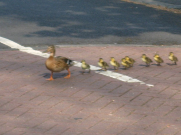 Mallard Mum and eight ducklings crossing the road in front of a waiting car in Gledhow Valley. Photo Mick Burton, continuous line artist.