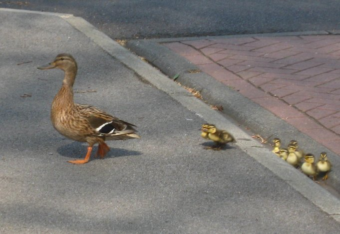 Ducklings struggle to mount a pavement higher than they are. Photo Mick Burton, continuous line artist.