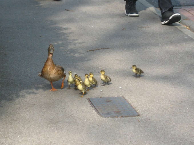 Ducklings regroup on the pavement after mounting to kerb. Photo Mick Burton, continuous line artist.