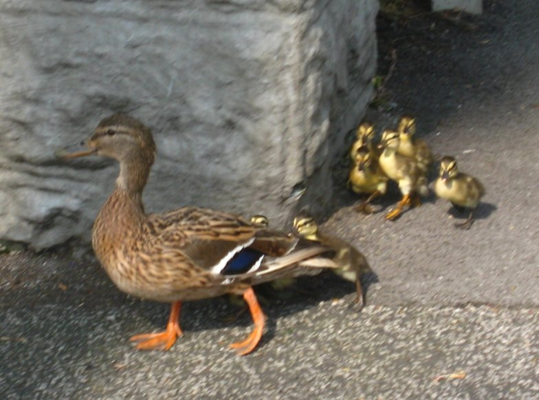 Mallard and ducklings turn right into Gledhow Valley. Photo Mick Burton, continuous line artist.
