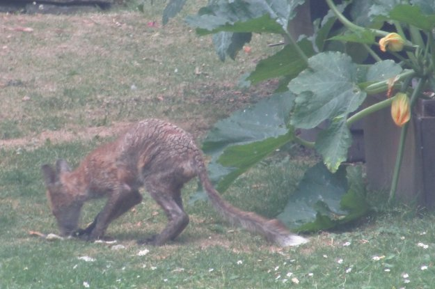 IMG_3990 15.7.18 another young fox with mange